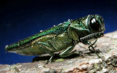 Best Emerald Ash Borer Removal Loudoun County Va, Clarke County Va, and Frederick County Va